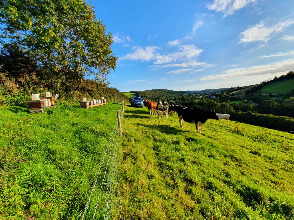 View of a Devon valley from one of the Stone's Honey apiaries. There are cows in the foreground, and a blue pickup truck in the background.