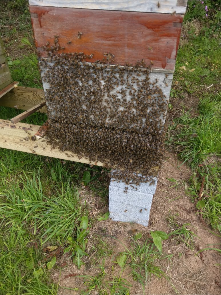 Numerous bees on the outside of a Stone's Honey bee hive in rural Devon