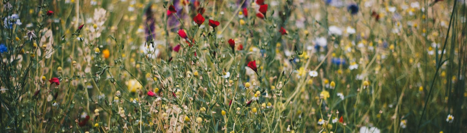 Floral meadow with selection of colourful flowers, including poppies and lavender