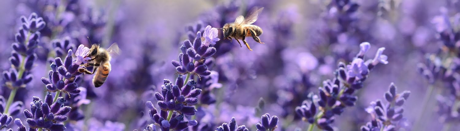 Decorative image showing bees on lavender